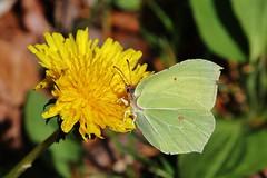Butterfly (Hugo von Schreck) Tags: macro butterfly insect makro insekt schmetterling f13 zitronenfalter gonepteryxrhamni fantasticnature onlythebestofnature tamron28300mmf3563divcpzda010 canoneos5dsr hugovonschreck