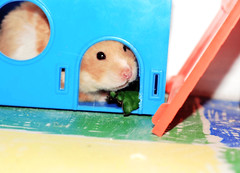 At home, with snack - Tofinka (pyza*) Tags: pet girl animal monster rodent furry critter fluffy hamster syrian hammie syrianhamster chomik tofcia tofinka