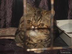 My Exotic friend, 1 (2012) (Finn Frode (DK)) Tags: show pet cats animal cat denmark kitten tabby indoor olympus hobby exotic exo exoticshorthair friheden e400 bicolouren lenemathews alacocciosccqi ccqi