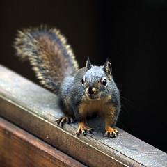 115/366 - Alert (Esko) Tags: animal squirrel april 365 babyanimal 2016 366 365project 365challenge 366challenge 366project