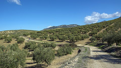 Serpenteante (EDU S.G.) Tags: santiago sky countryside nikon camino path country sigma andalucia cielo jaen andalusia olivos martos sendero olivo mozarabe olivar d5200