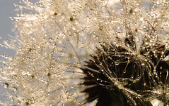 Looking Skyward (charhedman) Tags: sky macro sunshine bokeh dandelion seedhead raindrops underneath waterdrops