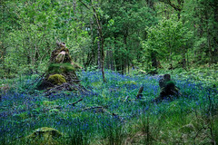 when the forest turns blue in Spring (lunaryuna) Tags: flowers trees nature beauty bluebells forest season landscape spring woods lunaryuna htt walkinthewoods theenchantmentofseasons treemendoustuesday