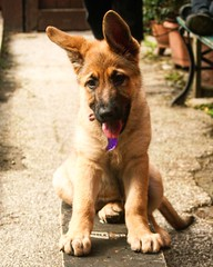Let's go (JLSPHOTOS co) Tags: dog pet color colour funny skateboarding skateboard alsatian