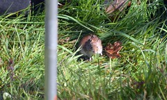 DSC_1881  Field Mouse Taken through  the Caravan window and think he seen me now (John Carson Essex) Tags: thegalaxy supersix rainbowofnature thegalaxystars