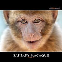 BARBARY MACAQUE (Matthias Besant) Tags: animal animals mammal deutschland monkey tiere ape monkeys mammals apes fell tier affen primates affe magot primat jungtier primaten querformat saeugetier saeugetiere makake berberaffe vogelparksteinen jungtiere makaken meerkatzenverwandte backentaschenaffen trockennasenaffen altweltaffen affenfell affenblick matthiasbesant