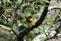 Male Hooded Warbler (nbc_2011) Tags: bird nature florida outdoor animalplanet warbler planetearth hoodedwarbler malehoodedwarbler
