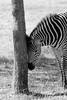 IMG_6451 (jeunesepayne) Tags: africa blackandwhite tree canon southafrica outside day stripes zebra trunk dslr johannesburg lionpark