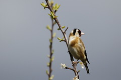 Goldfinch at Styal (claylaner) Tags: bird cheshire goldfinch finch styal cardueliscarduelis passerine canon7d