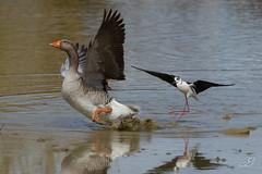 Echasse blanche et oie cendrée (Tifaeris) Tags: bird oiseau himantopushimantopus blackwingedstilt charadriiformes echasseblanche récurvirostridés