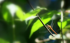 dragonfly (Luis Eduardo ®) Tags: macro forest insect wings dragon wilderness luismosquera