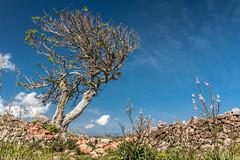 Wind-exposed tree at Castell de Santa gueda (Markus Trienke) Tags: blue sky tree wall canon eos spring stones sunny es menorca spanien ferreries 70d balearischeinseln