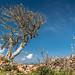 Wind-exposed tree at Castell de Santa Àgueda