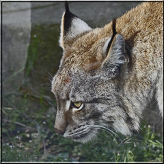 2016.02.19.066 PARIS - Zoo  - Europe - Lynx (alainmichot93 (Bonjour à tous - Hello everyone)) Tags: paris france animal seine zoo îledefrance linx mammifère félin 2016 zoodevincennes parczoologiquedeparis