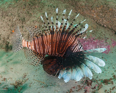 Lionfish Side (Grant Brodie Photography) Tags: australia nsw lionfish portmacquarie poisonous underwaterphotography 2016 grantbrodiecreativephotography