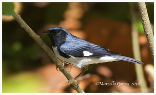Black-throated Blue Warbler (Setophaga caerulescens) BTBW - From the Caribbean to Canada with a stopover in Florida...