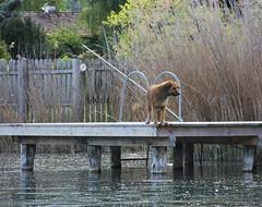 Lago di Caldaro (Luciana.Luciana) Tags: cane lago acqua pontile lagodicaldaro caldaro
