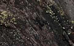 dark ubiquitous anoymous jumper (dustaway) Tags: arthropoda arachnida araneae araneomorphae salticidae genus jumpingspiders australianspiders clagiraba sequeensland nerangrivervalley clagirabaforestreserve barkjumpingspider spinne