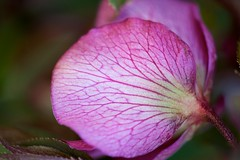 Petal Underside (imageClear) Tags: flower color nature beauty closeup garden aperture nikon flickr petal underside veins lovely photostream springtime d600 200mmf4 imageclear