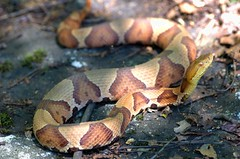 What a beaut - Northern Copperhead (Agkistrodon c. mokasen) (aaronsemasko) Tags: new york snake pit northern herp venomous copperhead agkistrodon vipers herping mokasen