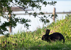 wild bunny (marneejill) Tags: wild black rabbit bunny grass creek happy scenic picture bank sunny daytime