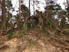 20160320-160144LC (Luc Coekaerts from Tessenderlo) Tags: wood trees tree public netherlands forest flora nobody creativecommons trunk vlodrop vak nld naturalsculpture herkenbosch provincielimburg cc0 coeluc 20160320160144lc vak201603vlodrop