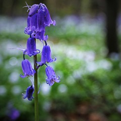 BLUEBELL (Rust Never Sleeps) Tags: wood uk flowers blue wild england flower woodland spring flora bokeh britain united great kingdom x anemone gb fujifilm 60mm fujinon nottinghamshire xf f24 t10 blubell