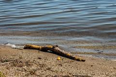 Driftwood II (david_sharo) Tags: lake water canon moraine t5i davidsharo