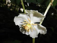 Mayapple (Podophyllum peltatum) (John Scholze) Tags: wisconsin wildflower mandrake mayapple podophyllum peltatum