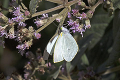 Common Mountain White (Leptophobia aripa aripa) (Pieridae, Pierinae) (S Whitebread) Tags: butterfly colombia santamarta pieridae pierinae proaves commonmountainwhiteleptophobiaaripa