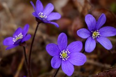 Spring flowers in purple shades. (janrs7) Tags: flowers blue nature colors forest spring purple bokeh april forestfloor springflowers forestground sonyilc6000 sonyemount1650mm