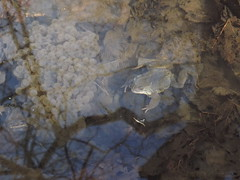 Frog and Frog Spawn (TREASURES OF WISDOM) Tags: whatisthis love look mystery wow wonderful nice fantastic eyes view yes magic frog sacred offering unknown longevity unusual vibes spawn yingyang brilliant mystic frogspawn unseen mythical holywell intresting