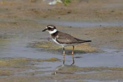 Common Ringed Plover at Taqah S24A6550 (grebberg) Tags: bird march oman plover shorebird 2016 wader commonringedplover dhofar charadriushiaticula charadrius taqah