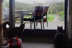 The blackbird is out of reach... (Finn Frode (DK)) Tags: pet cats bird window animal cat garden denmark rags watch indoor olympus som somali turdusmerula mixedbreed blackbird somalicat bastian domesticshorthair omdem5 dusharatattersandrags
