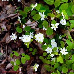Rue Anemone- Thalictrum thalictroides (mikerhicks) Tags: usa nature geotagged outdoors photography spring unitedstates nashville hiking tennessee wildflowers flowersplants rueanemone percywarnerpark geo:country=unitedstates camera:make=canon exif:make=canon exif:focallength=50mm geo:city=nashville geo:state=tennessee tamronaf1750 tamronaf1750mmf28spxrdiiivc exif:lens=1750mm exif:aperture=40 exif:isospeed=500 canoneos7dmkii camera:model=canoneos7dmarkii exif:model=canoneos7dmarkii highlandsofharpethtrace harpethtraceestates geo:location=harpethtraceestates geo:lat=3607242000 geo:lon=8689195833 geo:lon=86891958333333 geo:lat=3607242