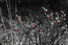 Rose hip already growing (tekgator) Tags: blackandwhite fruits germany deutschland woods sony wald oberpfalz frchte schwarzweis upperpalatinate alpha6000 sonya6000
