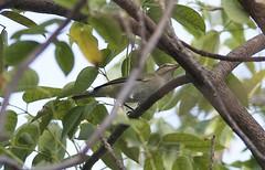 Black-whiskered Vireo (btrentler) Tags: black bird wildlife watching ave birder vireo blackwhiskered altiloquus