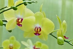 Panasonic FZ1000, Orchids, Botanical Gardens, Montral, 24 April 2016 (15) (proacguy1) Tags: orchids montral botanicalgardens panasonicfz1000 24april2016