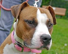 Dakota_03 (AbbyB.) Tags: rescue dog pet newjersey canine shelter adopt shelterpet petphotography easthanovernj mtpleasantanimalshelter