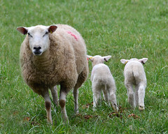 Camera Shy (njk1951) Tags: england wool field countryside twins cotswolds lambs cotswoldsheep twinlambs