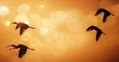 Four Ibis (beachpeepsrus) Tags: bird outdoor flight beak hbca
