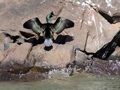 Shag, Craigleith, North Berwick, Scotland (robin denton) Tags: sea nature birds coast scotland wildlife shag northberwick seabird seabirds firthofforth phalacrocoraxaristotelis