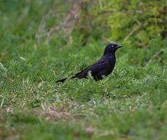 IMG_7267 (pipefitr18201) Tags: birds cardinal bluejay thrasher