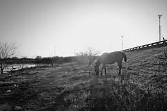 Pastando (Diego Serra) Tags: sunset horses sun caballos resplandor