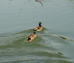 Follow the leader (karsheg) Tags: nature birds outdoors newjersey pond ducks groundsforsculpture gfs