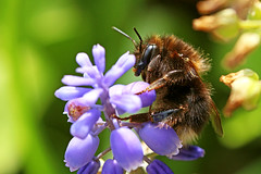 Bumblebee (dtroi17) Tags: flower macro insect spring bumblebee makro insekt hyacinth springtime frhling hummel hyazinthe blme