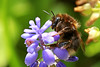 Bumblebee (dtroi17) Tags: flower macro insect spring bumblebee makro insekt hyacinth springtime frühling hummel hyazinthe blüme
