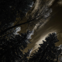 ...looking up (c e d e r) Tags: trees sky fire concept ceder darklyseries