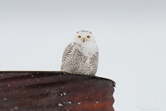 Snowy Owl. Adams County, Colorado.