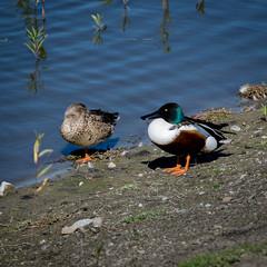 RanchoSanJoaquinWildlife-5 (rskim119) Tags: ca bird nature water animal duck pond nikon san couple outdoor wildlife pair joaquin shore marsh tamron sanctuary irvine rancho 70300 irwd d3300